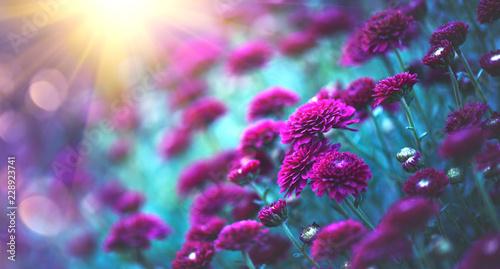 Leinwanddruck Bild Chrysanthemum flowers blooming in a garden. Beauty autumn flowers. Bright vivid colors