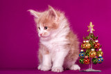 A cute maine coon kitten sitting near a Christmas tree on the pink background in a studio. - 228926954