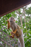 Common Squirrel Monkey (Saimiri sciureus) eating fruit. Selective focus