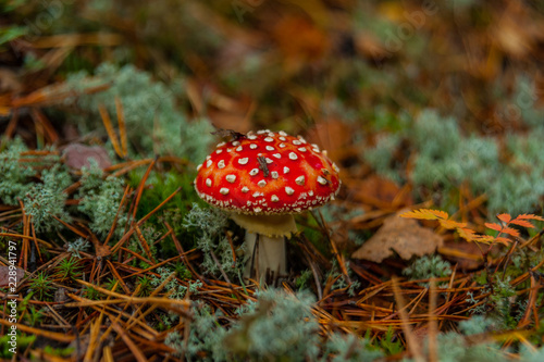 poisonous inedible mushroom fly agaric - 228941797