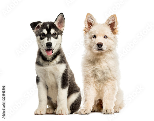 White Swiss Shepherd puppy, Husky malamute puppy, in front of wh