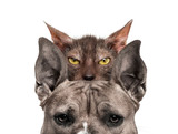 American mastiff with Lykoi cat behind, in front of white backgr - 228966779