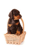 Dobermann Puppy sitting in small wicker flower basket looking right.  Isolated on white