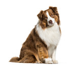 Australian Shepherd, 3 years old, in front of white background - 228972377