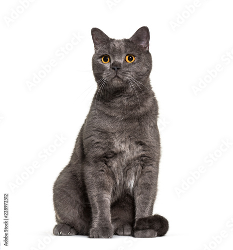 British Shorthair, 4 years old, in front of white background - 228972312