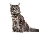 Norwegian Forest Cat, 9 months old, in front of white background