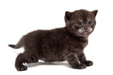 Small black smoky British kitten stands in full height isolated on white background - 228976396