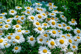 spring daisies in the meadow background
