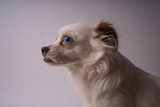 Portrait of a dog in profile. White Spitz on white background