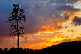 Pine tree at sunset - 228990398