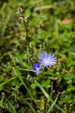 Cornflower in the forest. Wild nature