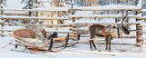 Reindeer sledge, in winter, Lapland, Finland - 228997918