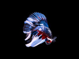 Fighting fish on black background 3