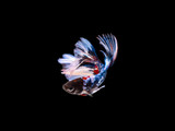 Fighting fish on black background 1