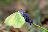 Pieridae / Orakkanat / / Gonepteryx rhamni