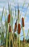 Typha latifolia - 229039326