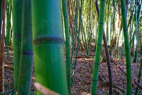 Bamboo tree landscape in tropical rainforest © Didi