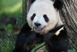 Panda Breakfast 2