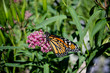 Monarch garden