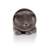 adorable scotish fold wearing a pet cone lying