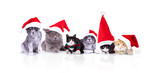 group of six cute christmas cats sitting and lying