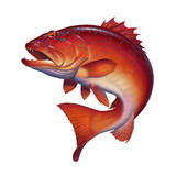 Coral trout on white - 229076906