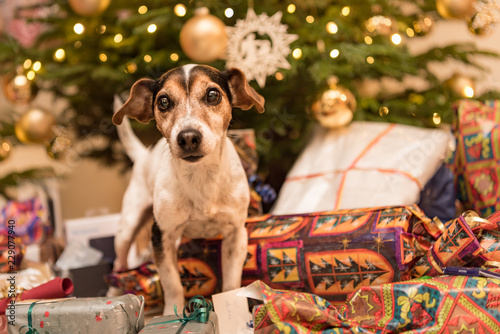Leinwanddruck Bild Jack Russell Terrier 11 years old. Dog is standing at the Christmas Eve in front of a Christmas tree with many gifts and is looking forwards