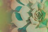 Echeveria succulent plant filtered