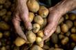 Bio Kartoffeln in Männerhänden gehalten, frisch geerntet und ungewaschen