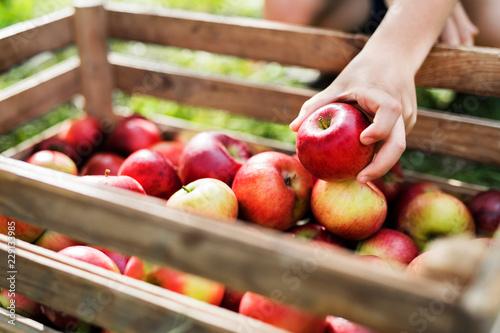 Leinwandbild Motiv A child's hand putting an apple in a wooden box in orchard.
