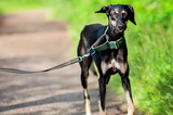 Black young saluki dog outdoors enjoying the lovely Summer weather in Finland, Porvoo - 229142977