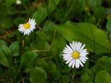 Daisy flowers on green grass