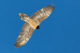 juvenile bearded vulture (gypaetus barbatus) flying in blue sky - 229186575