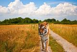 Tiger walking down farm track