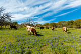 Cattle grazing in a bluebonnet field on a ranch in the Texas Hill Country. - 229193145
