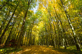 trees in autumn forest - 229194191