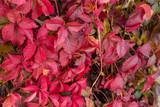 Bright red leaves of wild grapes. Bright paints of fall
