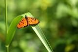 Schmetterling aus Sri Lanka