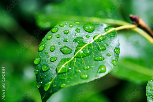 shiny transparent drops of morning dew roll down from a pear leaf in the spring garden - 229233334