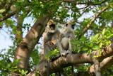 Hanuman-Langur in Sri Lanka  - 229234908