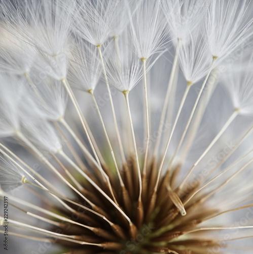 stars seed dandelion - 229242397