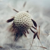 dandelion and seeds