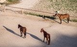 Young horses in the paddock near the stable. Evening on the farm. - 229251730