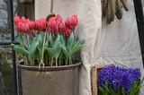 Fototapeta Tulips - Kwitnące czerwone tulipamy w ozdobnym metalowym wiadrze © Ewa