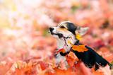 welsh corgi puppy in autumn leaves - 229255922