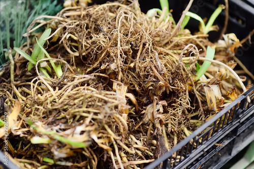 The famous Amsterdam flower market (Bloemenmarkt). Root of the plant Daylily (Hemerocallis).