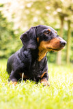 Portrait dachshund in nature with blurred background - 229262714