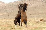 Two Wild Mustang Stallions Fighting