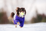 happy chihuahua dog playing with a ball outdoors in winter