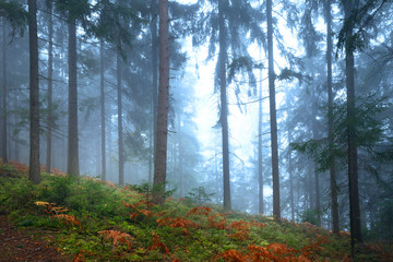 Foggy autumn season colored forest landscape. © robsonphoto